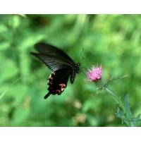 Черная бабочка картинки и широкоформатные обои для рабочего стола