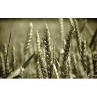Пшеница обои (2 шт.)
