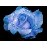 Нежно-голубая роза картинки и качественные обои на рабочий стол