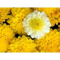 Желтые цветы картинки и обои, поменять рабочий стол
