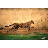 Гепард бежит бесплатные обои и картинки