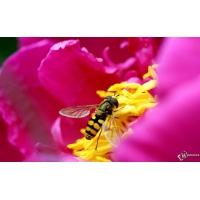 Пчела на цветке картинки и обои на рабочий стол компьютера