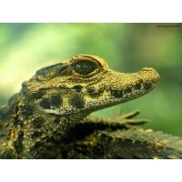 Крокодильчик картинки и обои рабочего стола скачать бесплатно