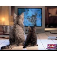 Коты смотрят телевизор - картинки - это супер рабочий стол