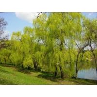 Зеленые деревья картинки и обои, смена рабочего стола