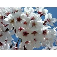 Цветущая сакура лучшие обои для рабочего стола и картинки