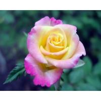 Распускающаяся роза обои и фото на красивый рабочий стол скачать