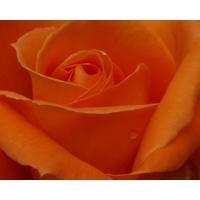 Роза картинки и прикольные обои на рабочий стол