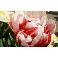 Симфония тюльпанов красивое фото на рабочий стол и картинки