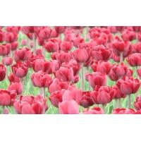 Тюльпаны фотографии на рабочий стол