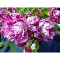 Пестрые розы картинки - это супер рабочий стол