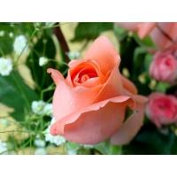 Розовая роза обои для рабочего стола компьютера