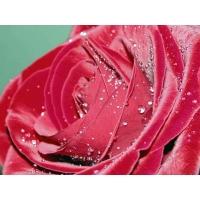 Роза картинки, обои и фоновые рисунки для рабочего стола бесплатно