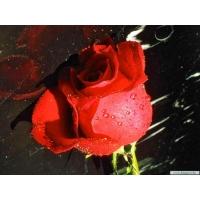 Поникшая роза обои для большого рабочего стола и картинки
