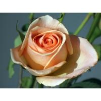 Роза картинки и фоны для рабочего стола windows