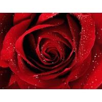 Королева цветов бесплатные фото на рабочий стол и картинки