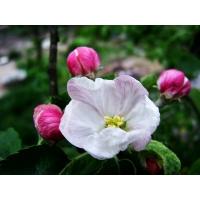 Яблоневый цвет фото на рабочий стол бесплатно