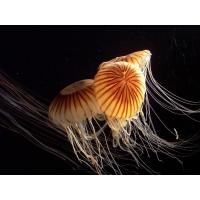 Танец медуз картинки и обои, поменять рабочий стол