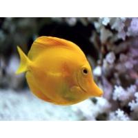 Желтая рыбка скачать картинки и рисунки для рабочего стола
