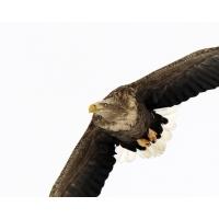 Летящий орел фото и обои для рабочего стола