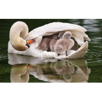 Лебединая семья обои для большого рабочего стола и картинки