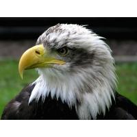 Белоголовый орел новейшие обои на рабочий стол и картинки