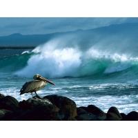 Бурый пеликан скачать картинки на комп и обои для рабочего стола