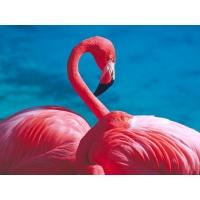 Фламинго обои скачать бесплатно и фотографии