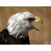 Белоголовый орел скачать бесплатные обои и картинки