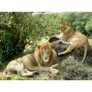 Львы на