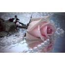 белый жемчуг и роза, картинки, заставки на рабочий стол бесплатно