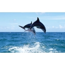 дельфины в море, гламурные картинки на рабочий стол и обои для рабочего стола