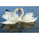 Лебеди влюблены