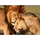 Лев и