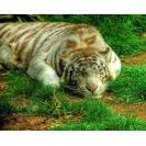 Картинка персидский тигр на компьютер, картинки и новые обои