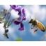 пчела обои