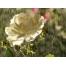 (1000х1200, 860 Kb) роза под дождём, скачать бесплатные обои и картинки