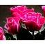 розы, обои
