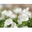 (1000х1200, 860 Kb) Белые цветы - весенние обои для рабочего стола., картинки и новые обои на рабочий стол