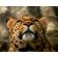 леопард, обои