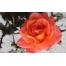 (1000х1200, 379 Kb) Красная роза - картинки и фотки на рабочий стол