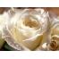 (1000х1200, 420 Kb) Красивая белая роза - фотообои для рабочего стола и картинки