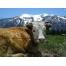 Корова обои