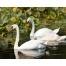 Лебеди- самые крупные из водоплавающих птиц. фото.