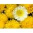 (1000х1200, 420 Kb) Желтые цветы картинки и обои, поменять рабочий стол