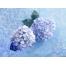 (1000х1200, 860 Kb) гортензия голубая - фото и обои для рабочего стола