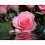 Роза обои