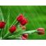 (1000х1200, 420 Kb) Тюльпаны под водой картинки и обои, поменять рабочий стол