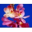 Орхидея обои