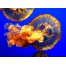 Медуза обои